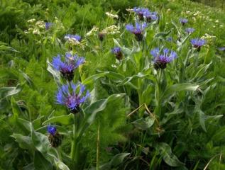 Bleuet des montages, Centaurea montana