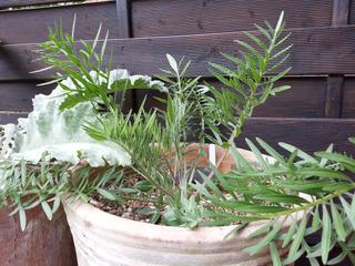 Centaurée en pot (Centaurea atropurpurea)
