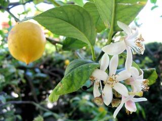 Citronnier des 4 saisons : culture, taille et rusticité