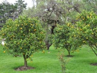 Citronniers en pleine terre