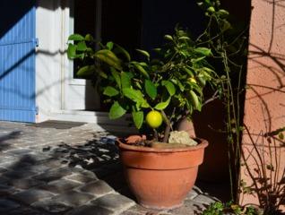 Citronnier en pot sur une terrasse en hiver