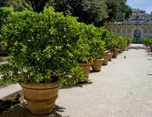 Citronniers en pots dans un jardin en Italie