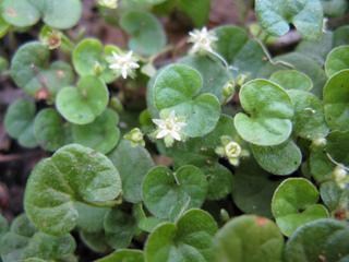 Dichondra repens : feuillage et fleurs