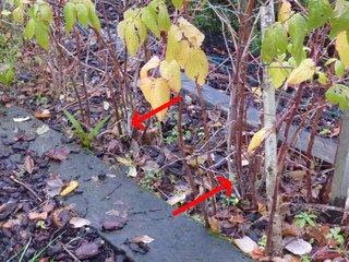 Framboisiers : tiges sèches à supprimer