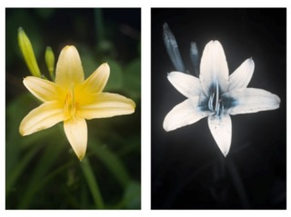 Hémérocalle jaune : spectre visible (à g), ultraviolet (à g.)