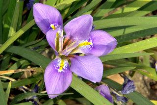 Iris unguicularis mauve