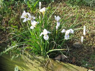 Iris unguicularis 'Peloponnese Snow'