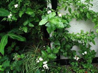 Jasmin sambac en pleine terre