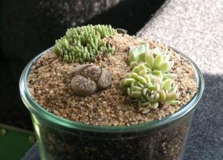Lithops dorotheae dans une composition