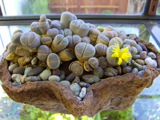 Lithops, plante-caillou : culture et entretien