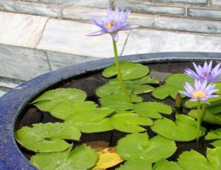 Lotus nain dans un petit bassin (Nelumbo nucifera)