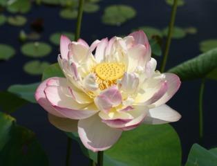 Lotus, Nelumbo nucifera 'Mrs Perry D. Slocum'