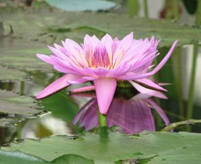 Lotus, Nelumbo nucifera : plantation et culture en bassin