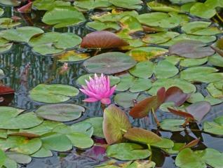Lotus sacré, Nelumbo nucifera