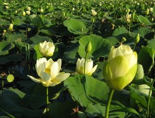 Lotus jaune, Nelumbo lutea