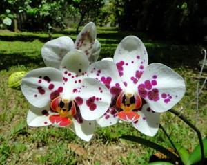 Orchidée au soleil, en extérieur