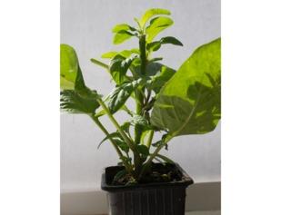 Plant de poire-melon issu de bouture