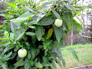 Pied de poire-melon, pépino