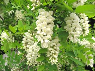 Fleurs de robinier (faux acacia)