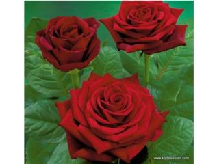 Rose Bordeaux® - Kordes