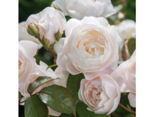 Rose 'Desdemona' - David Austin