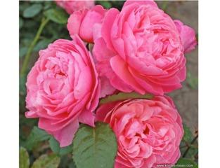 Rose Kölner Flora® - Kordes