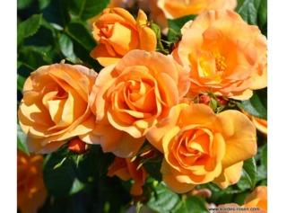 Rose Portorož® - Kordes
