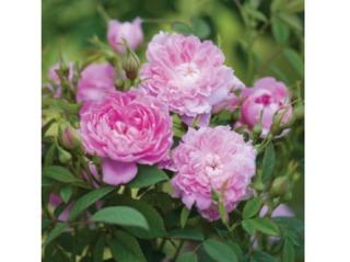 Rose 'Sir Walter Scott' - David Austin