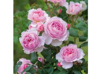 Rose 'The Ancient Mariner'- David Austin