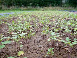 Semis de moutarde blanche au potager