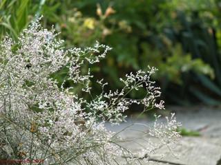 Statice latifolium