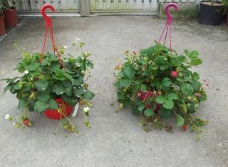 Suspensions de fraisiers