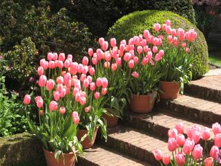 Arbustes et tulipes le long d'un escalier