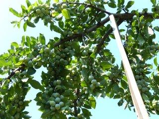 Soins d'été des arbres fruitiers : éclaircissage, ensachage, taille, arrosage