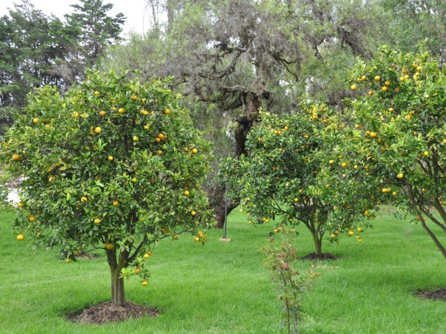 Citronnier des 4 saisons culture taille et rusticit for Le jardin des 4 saisons pusignan