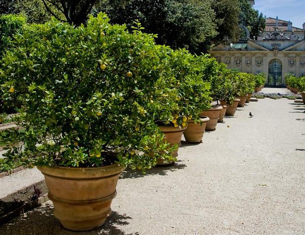 citronnier des 4 saisons culture taille et rusticit