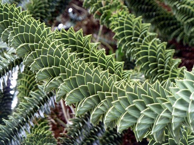 Araucaria araucana spirales v g tales for Vegetal en anglais