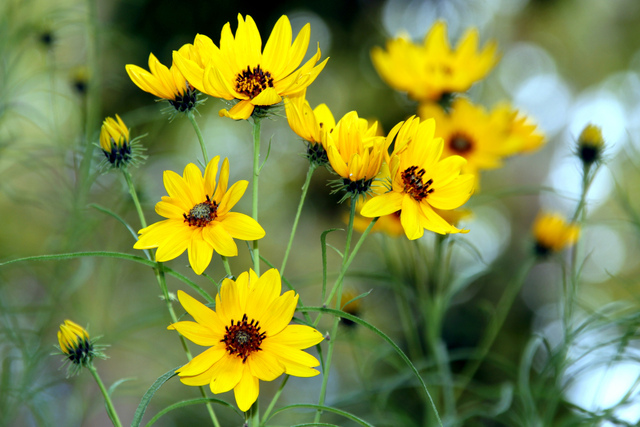 H lianthus vivaces soleils plantation culture et esp ces for Fleurs jaunes jardin vivace