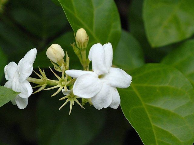 Jasmin d'Arabie - jasminum sambac