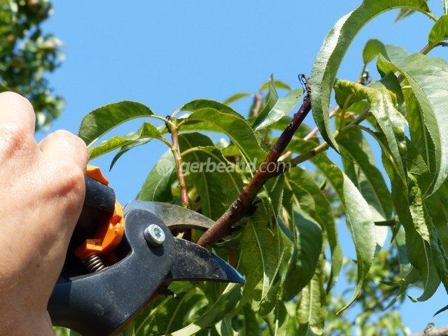 Peut on tailler un cerisier taille du noyer taille - Quand faut il tailler la vigne ...