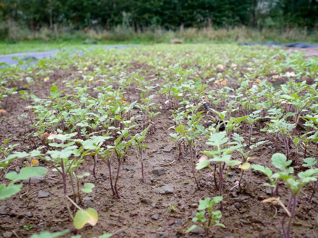 Engrais vert : choix, période de semis