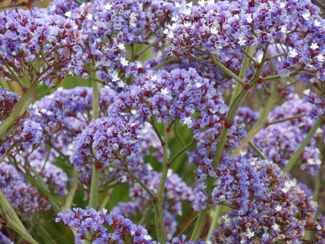 Statice ou limonium : semis et culture au jardin