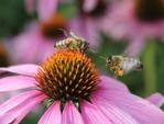 Comment les fleurs attirent-elles les insectes pollinisateurs ?