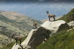 Parrainez un bouquetin du Parc National des Pyrénées !