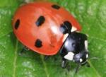 La coccinelle, un insecte auxiliaire bien utile au jardin
