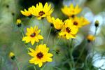 Hélianthus vivaces (soleils)