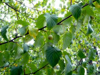 Davidia : feuillage et fruits en fin d'été