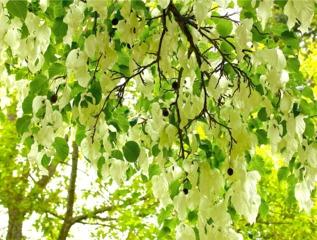 Fleurs et fruits de l'année précédente (Davidia involucrata)