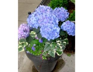 Hydrangea bleu en pot