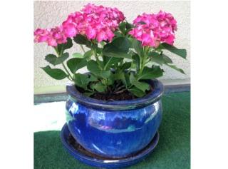 cultiver un hortensia en pot vari t s adapt es entretien. Black Bedroom Furniture Sets. Home Design Ideas